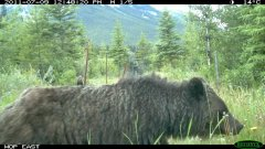 grizzly-sow-cub-camera.jpg