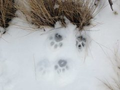 mountain-lion-track-snow.jpg