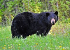 NE-BlackBear-Photo1b.jpg