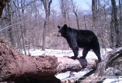 NE-BlackBear-Photo3b.JPG