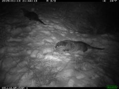 SNP-RiverOtter-Night.JPG