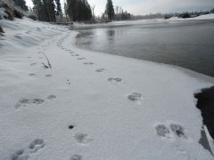 SNP-RiverOtter-Tracks.jpg