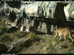 Yellowstone-cougar-remotephoto1.jpg